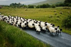 Image of a herd of sheep walking down a country road.