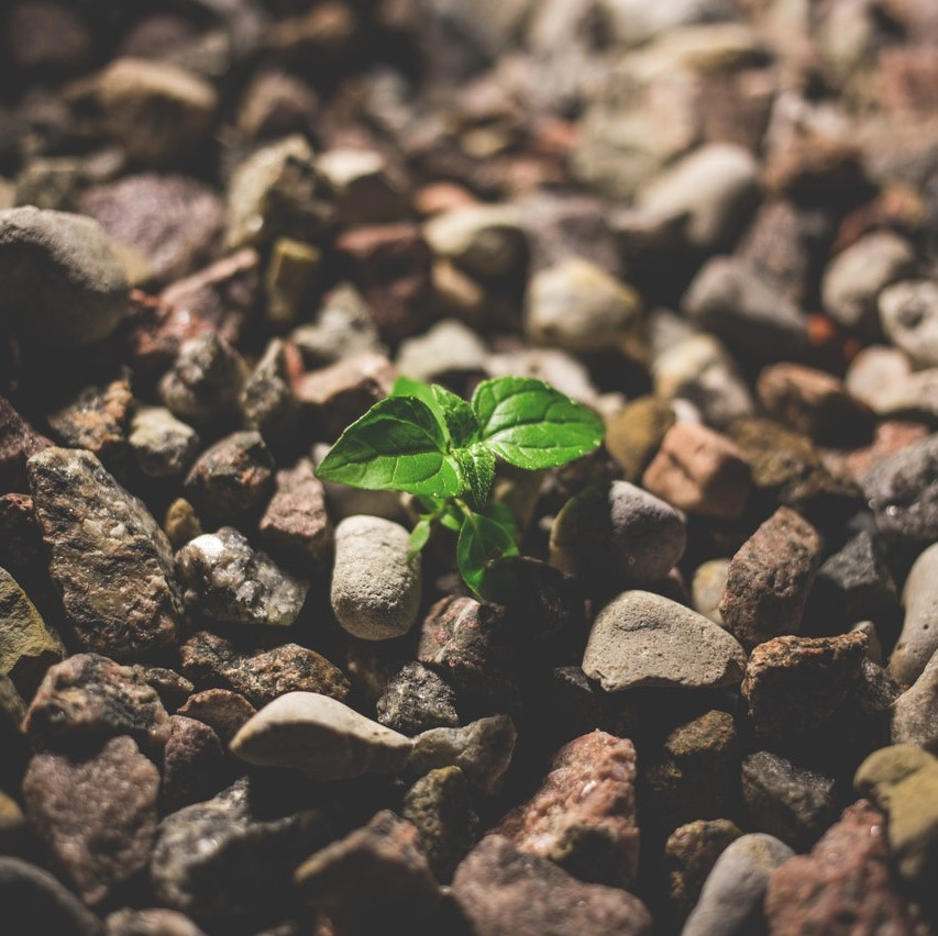 Image of a plant growing through rocks.